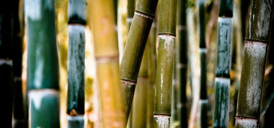 Immortal Bamboo