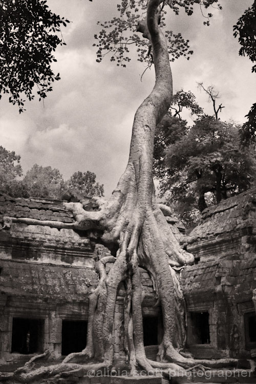 Ta Prohm Tree